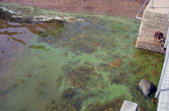 Algblomning på badplats i Timmernabben
